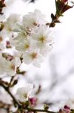 Oriental cherry blossom Royalty Free Stock Photos