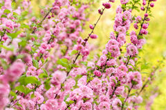 Oriental cherry blossom Stock Image