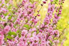 Oriental cherry blossom Stock Image