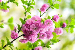 Oriental cherry blossom stock photos