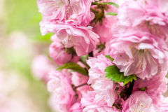 Oriental cherry blossom Royalty Free Stock Images