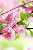 Oriental cherry blossom Stock Photo