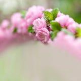 Oriental cherry blossom Royalty Free Stock Photo
