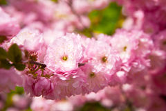 The Oriental cherry blossoms Stock Images