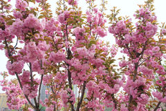 Oriental cherry Royalty Free Stock Images