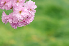 Oriental cherry Royalty Free Stock Photo