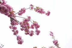Oriental cherry Stock Photography