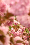 Oriental cherry Royalty Free Stock Photo