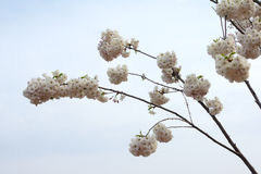 Oriental cherry Royalty Free Stock Photography