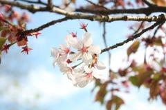 Oriental cherry flower Stock Image