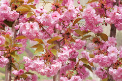 Oriental cherry flowers Royalty Free Stock Image