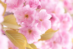Oriental cherry flowers. The close-up of oriental cherry flowers Royalty Free Stock Images