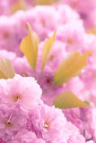 Oriental cherry flowers Stock Photo