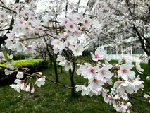Oriental cherry flowers Stock Images