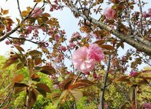 The oriental cherry is in full blossom. stock images