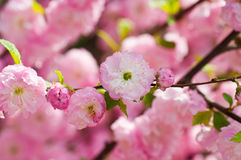 Oriental cherry Royalty Free Stock Image