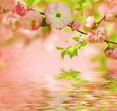 Oriental cherry Stock Image