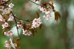 Oriental cherry sakura Royalty Free Stock Photo
