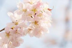 Oriental cherry sakura Stock Images