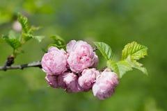 Oriental cherry sakura Royalty Free Stock Photos