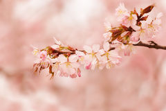 Oriental cherry sakura Stock Photography