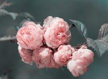 Oriental cherry sakura branches Royalty Free Stock Photos