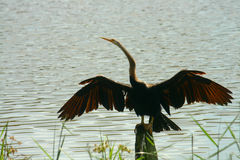 Oriental Darter. Spreading wings out to dry stock photo