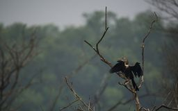 Sun Drying Oriental Darter Royalty Free Stock Images