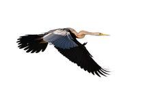 Oriental darter bird Stock Photography