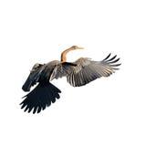 Oriental darter bird Royalty Free Stock Images