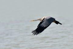 Oriental darter bird Stock Images