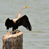 Oriental darter bird Stock Image
