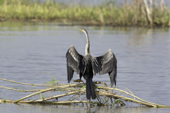 Oriental Darter dry wings over swamp Stock Image