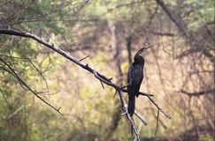 Indian Darters or Snakebirds resting in a wetland area of Keoladeo National park, Indai. The Oriental darter or Indian darter Anhinga melanogaster is a water royalty free stock images