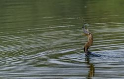 Oriental Darter or Indian Darter - Tossing and Swallowing a Fish. Snake bird or the Indian Darter - Tossing a fish upside down and then swallowing it royalty free stock image