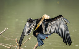 Oriental Darter (snakebird) in beautiful pose  Stock Images