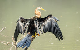 Oriental Darter spreading wings to dry Royalty Free Stock Photo