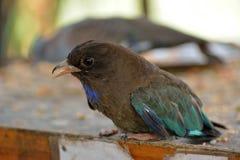Oriental dollarbird Eurystomus orientalis royalty free stock image