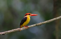 Oriental Dwarf Black-backed Kingfisher Ceyx Lacepede Royalty Free Stock Photos