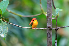 Oriental Dwarf Kingfisher Stock Images