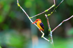 Oriental Dwarf Kingfisher Stock Photo