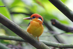 Oriental Dwarf Kingfisher Black-backed Kingfisher Stock Photos