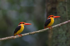 Oriental Dwarf Kingfisher Black backed Kingfisher Ceyx Lacepede Stock Photos