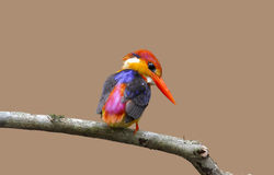 Oriental Dwarf Kingfisher Black backed Kingfisher Ceyx Lacepede Royalty Free Stock Photography