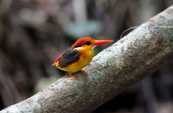 Oriental Dwarf Kingfisher Black backed Kingfisher Ceyx Lacepede Stock Photo