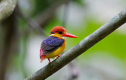 Oriental Dwarf Kingfisher Black backed Kingfisher Ceyx Lacepede Stock Photography