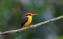 Oriental Dwarf Kingfisher Black backed Kingfisher Ceyx Lacepede Stock Images