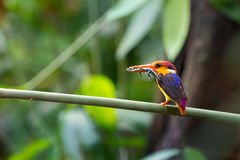 Oriental Dwarf Kingfisher. The Oriental dwarf kingfisher (Ceyx erithaca) also known as the black-backed kingfisher or three-toed kingfisher is a species of bird Stock Image