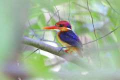 Oriental Dwarf Kingfisher Ceyx erithaca Birds of Thailand Royalty Free Stock Images