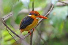 Oriental Dwarf Kingfisher Ceyx erithaca Birds of Thailand Stock Images